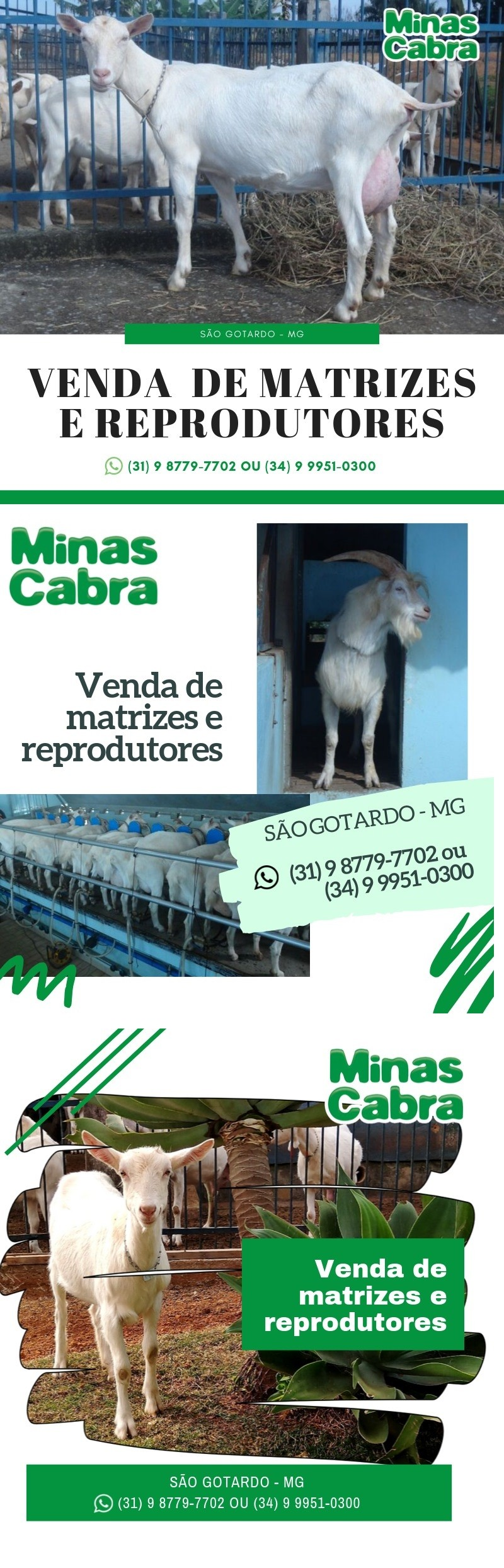 VENDA DE MATRIZES E REPRODUTORES MINAS CABRA